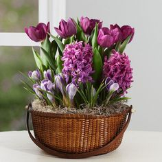 fleurs en pot de printemps- jacinthes, tulipes et crocus