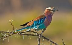 """Full of colours...""  Lilacbreasted Roller (Coracias caudata), Etosha National Park, Namibia, Africa  Nikon D200, Nikkor 80-400 mm, 1/320 sec at f/ 5.6, ISO 200  © Konstantinos Arvanitopoulos Photography. All Rights Reserved."