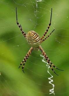 Top View of Garden Spider