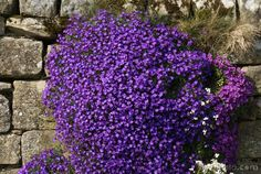 aubretia | Image may be licensed under CreativeCommons Attribution-Noncommercial ...