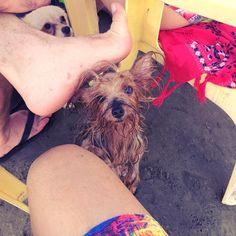"158 curtidas, 1 comentários - Dalila Reis 🌹🐶🐾 (@dalilasapeka_) no Instagram: ""#praiasdobrasil #praia #peruibe #ondas #dog #alegria #love #life  #sol #piscina #nadar"""