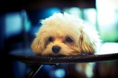 """Maltipoo pups. My """"Doug"""" is the best dog I've ever adopted! *heart* [hypoallergenic]"""