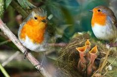 Baby Robins and their parents.