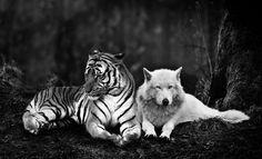 A tiger hugs a wolf by Meteor-Panda on deviantART