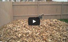 Hilarious Husky Having Heaps Of Fun [Video]