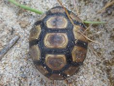 Angulate Tortoises are endemic to southern Africa and are recognizable by their striking shell markings. We have to watch out for these little guys as we drive around the bush land areas we visit! #capetownvolunteer # ctrci