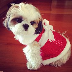 Cute shih tzu. Look at this lil baby. Awwww in a couple years I will get a doggie just like this one!