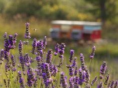 lavandula officinalis and bees near Florence, Italy