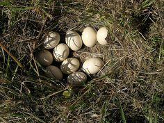oeufs de poule dans un pré - nid