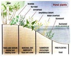 pond plants sketch (demorczetes,2013)