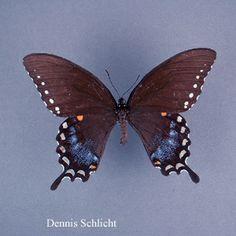 Papilio troilus (Dennis Schlicht)