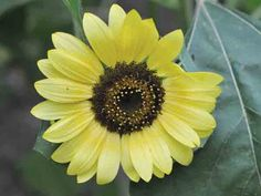 Tall plants grow 8-12 feet and produce multiple blooms that are a soft, creamy yellow in color with a chocolate center.