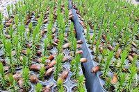 JORNAL REGIONAL EXPRESS: IAP vai transformar uma tonelada de pinhão em muda...