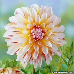 Amazing Flowers, Beautiful Flowers, American Meadows, Bulb Flowers, Dahlia Flowers, Zinnias, Flower Pictures, Dream Garden, Trees To Plant