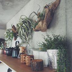 男性で、2LDKのコンクリート打ちっ放し/観葉植物/流木/キッチンについてのインテリア実例を紹介。「流木とエアープランツ。相性抜群なんです。」(この写真は 2015-06-06 00:22:50 に共有されました)