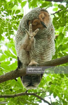 Luv this! Stock Photo : Spotted Wood-Owl Talk To The Hand! Baby Owls, Cute Baby Animals, Animals And Pets, Funny Animals, Wild Animals, Owl Photos, Owl Pictures, Funny Animal Pictures, Beautiful Owl