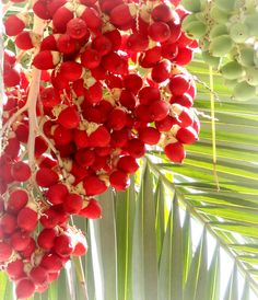 Nut or berry on a palm tree?