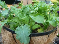 How to Grow Your Own Baby Greens