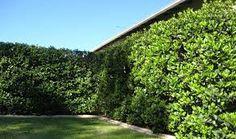 Sweet Viburnum Odoratissimum Live Plants Privacy Hedge by JJGardenBoutique on Etsy Hedges Landscaping, Garden Hedges, Small Backyard Landscaping, Landscaping Ideas, Modern Landscaping, Backyard Ideas, Inexpensive Landscaping, Landscaping Melbourne, Backyard Plants