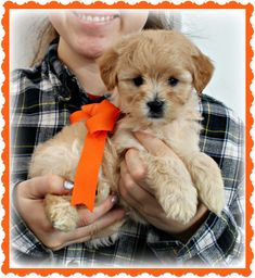 Check out our list of all upcoming Goldendoodle litters and Double Doodle litters below. Please fill out the puppy application and we will contact you. Toy Goldendoodle, Double Doodle, Breads, Doodles, Puppies, Toys, Bread Rolls, Activity Toys, Cubs