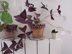for a second, they look like butterflies! Indoor Garden, Home And Garden, Shamrock Plant, Oxalis Triangularis, Little Shop Of Horrors, Interior Plants, Growing Plants, Horticulture, Houseplants