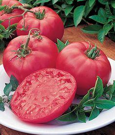 Tomato, Brandy Boy  Hybrid