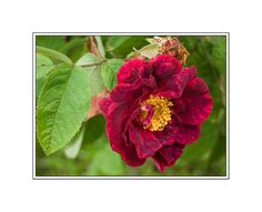11 Shade Tolerant Roses: Alain Blanchard