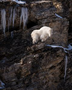 Mountain  goat Billy on a cliff.  The Higher The Fewer.