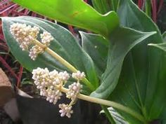 Yahoo! Image Search Results for medinilla picture flower