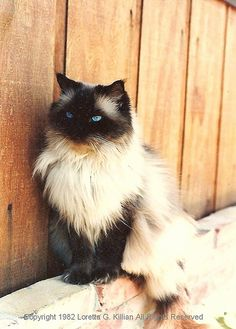 Popular Cat, Standard Cats, Top Cat Breeds, Funny and Cute Kittens Pictures Pretty Cats, Beautiful Cats, Animals Beautiful, Pretty Kitty, Kittens Cutest, Cats And Kittens, Cute Cats, Animals And Pets, Cute Animals