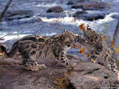Leopardos bebés - Baby and cute leopards