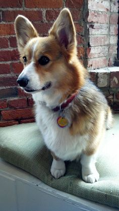 This adorable corgi puppy will warm your heart. Dogs are awesome friends. Pembroke Welsh Corgi Puppies, Corgi Dog, Pet Puppy, Pomeranian Puppy, Husky Puppy, Corgi Funny, Cute Corgi, Cutest Puppy, Really Cute Puppies