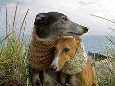 Precious pair of Italian Greyhounds wearing neck warmers.