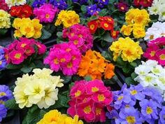 Primroses offer a spectacular addition to your garden for early spring color during cool weather. Primroses tolerate shade and are available at Estrada Farms in four intense colors: red, purple, pink, and yellow.