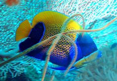 Blue-girdled angelfish, Pomacanthus navarchus is a marine angelfish from the Indo-Pacific ocean as well as some parts of the east Indian Ocean.