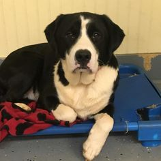 Borador dog for Adoption in Augusta, GA. ADN-637608 on PuppyFinder.com Gender: Male. Age: Adult
