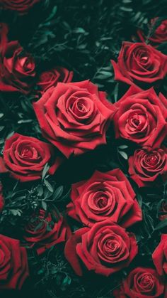 Nothing like red roses wallpaper Flor Iphone Wallpaper, Nature Wallpaper, Dark Red Wallpaper, Lock Screen Wallpaper Iphone, View Wallpaper, Trendy Wallpaper, Amazing Flowers, Beautiful Roses, Beautiful Flowers