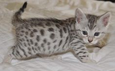 bengal kitten | Bengal Kittens and Cats at San Diego Bengal Cats