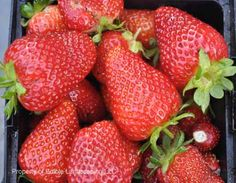 Aromas Strawberry, day neutral, very large fruits