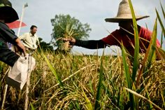 Golden Rice is rice that's been genetically engineered to deliver enough beta carotene to improve the health of the malnourished poor who might eat it. Miracle Rice, Golden Rice, Genetically Modified Food, Plant Science, Fool Gold, Ms Gs, Change The World, Genetics, Panama Hat