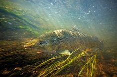 Underwater Trout pho