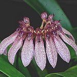 Bulbophyllum eberhardtii. by Phajus