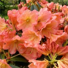 Rhododendron September Song