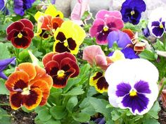 Pansies are notoriously fragile, so you best take care to keep their pretty petals from bruising by watering them as gently as you can. The reward they bring in return, though, can last right through to winter.