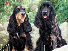 There are two modern day breeds of cocker spaniel, the English Cocker Spaniel and also the American Cocker Spaniel.