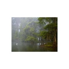 Great Egret Reflected in Foggy Cypress Swamp, Lake Martin, Louisiana,... (330 ARS) ❤ liked on Polyvore featuring home, home decor, wall art, home wall decor, interior wall decor, lake home decor and animal wall art