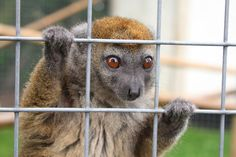 Sambirano Bamboo Lemur