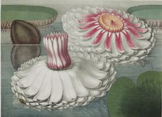 unusual vintage water flower illustration!
