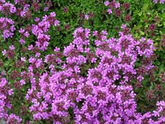 Thymus praecox 'Purple Beauty' (Kruiptijm, Kleine tijm) | Tuinwinkel.nl