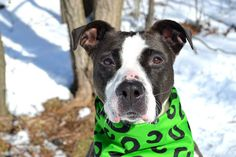 SAFE 03/05/15!  Was TO BE DESTROYED - 03/04/15 Staten Island Center -P  My name is HINATA. My Animal ID # is A1027851. I am a female brown and white pit bull mix. The shelter thinks I am about 3 YEARS old. For more information on adopting from the NYC AC&C, or to find a rescue to assist, please read the following: http://urgentpetsondeathrow.org/must-read/
